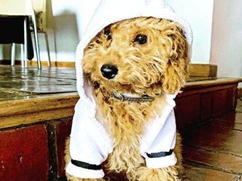 Cómo se debe cuidar a un perro caniche correctamente