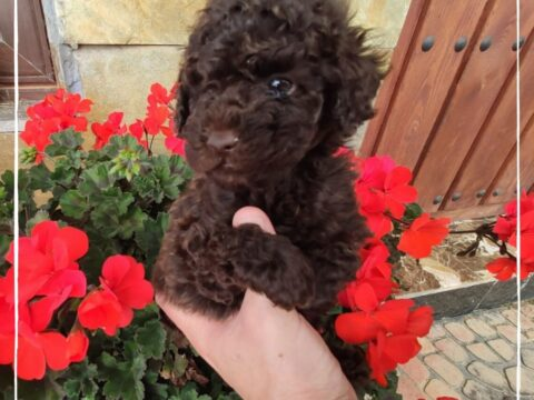 Precio Caniche Toy ¿Cuánto cuesta tu mascota?