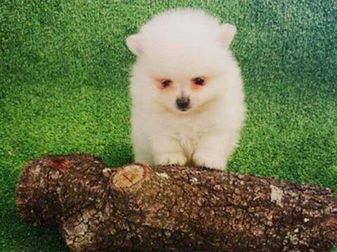 Pomerania Toy Boo