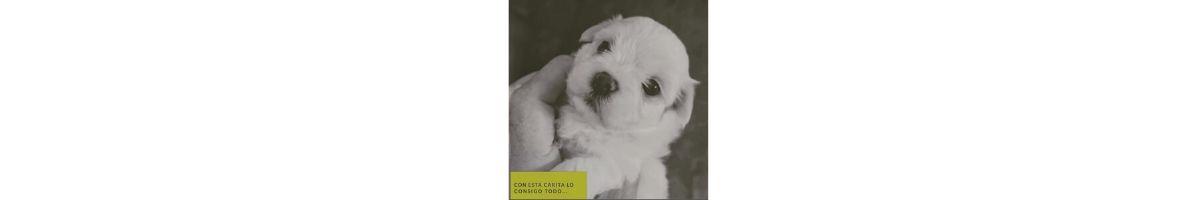 Collage de perros maltés