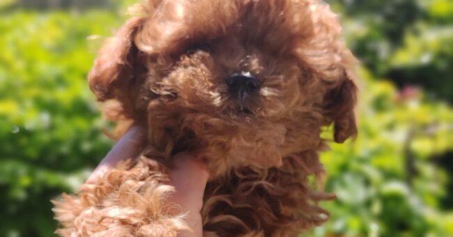 Donde estan los perros en miniatura más bonitos en España